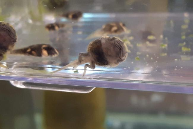Appearance of the tadpoles at 49 days post-lay.