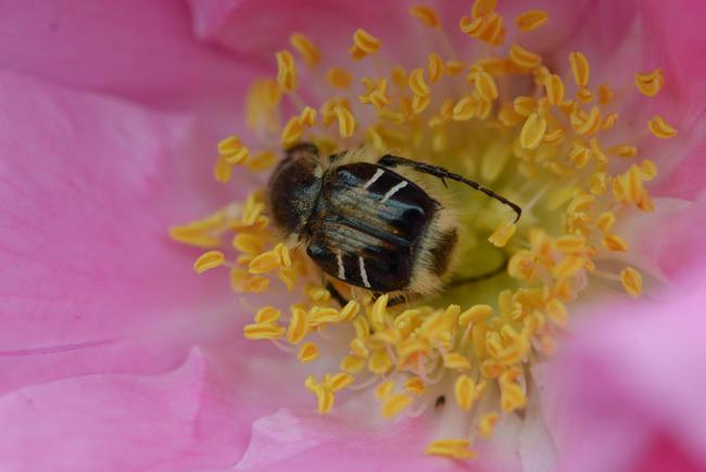 Scarabée pollinisateur du genre Trichiotinus