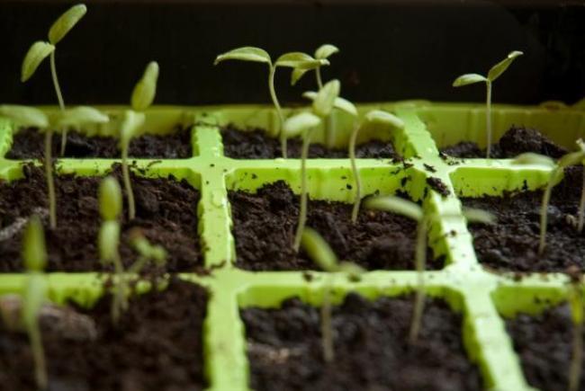Plateau de semis
