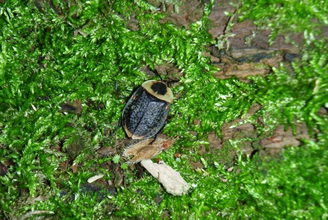 This American carrion beetle (Necrophila americana) is looking for a carcass where it can lay its eggs. Its larvae feed on the animal's dead tissue, while the adults eat the maggots found on the remains.