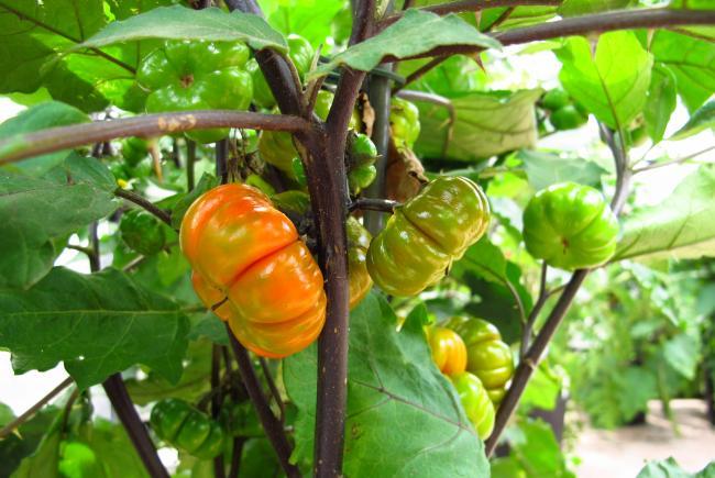 L'aubergine amère (Solanum aethiopicum)
