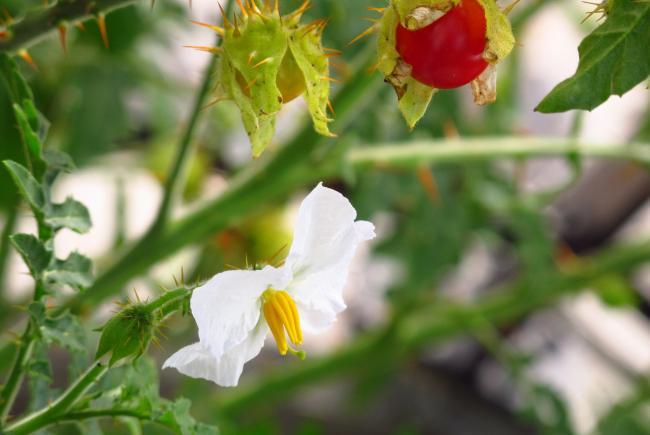 La morelle à feuilles de sisymbre (S. sisymbriifolium)
