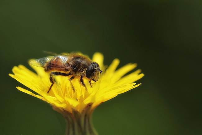 Comme tous les syrphidae, ce syrphe couvert de pollen contribuera peut-être à la pollinisation de la fleur sur laquelle il se trouve.
