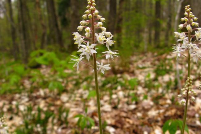 Heart-leaved foamflower  (Tiarella cordifolia)