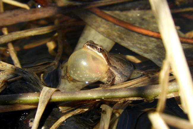 Rainette faux-grillon mâle adulte qui chante avec son sac vocal gonflé.
