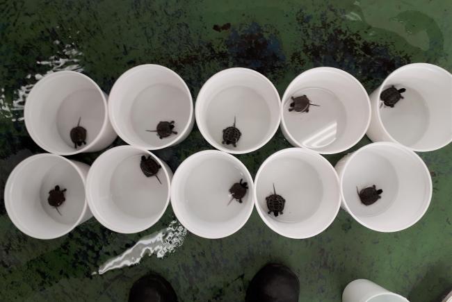 Dix des 40 bébés tortues des bois