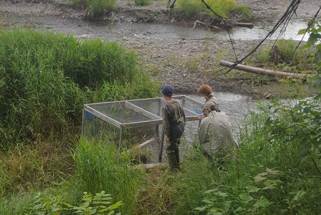 Les relâches ont lieu après une courte période d'acclimatation au nouvel environnement, pendant laquelle les tortues sont protégées des prédateurs et des humains.