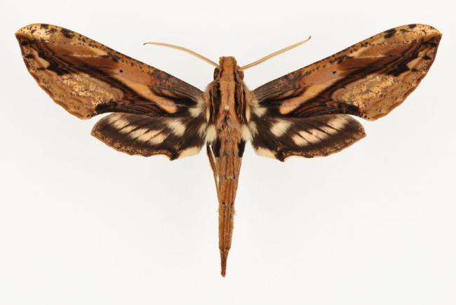 Xylophanes lamontagnei