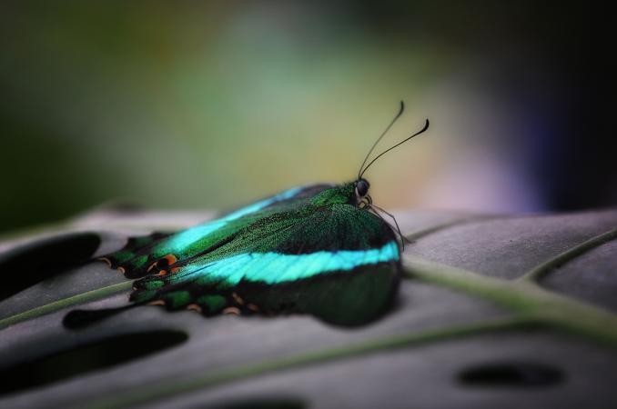 Banded peacock (Papilio palinurus)