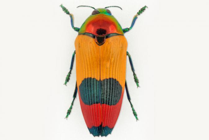 Metaxymorpha nigrofasciata (Nouvelle-Guinée)