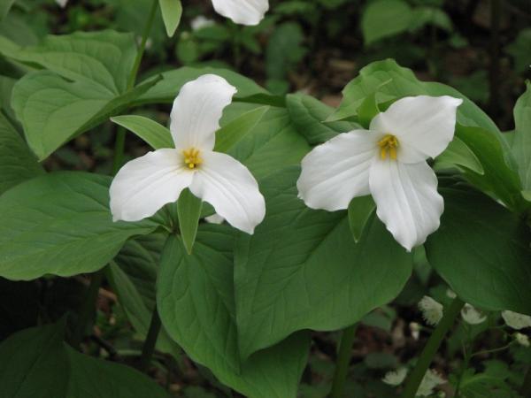 Le trille blanc, une espèce indicatrice de sous-bois riche