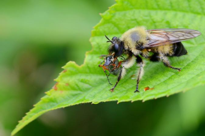 Asilidae are voracious predatory flies. This one, of the Laphria genus, is very common in Québec.