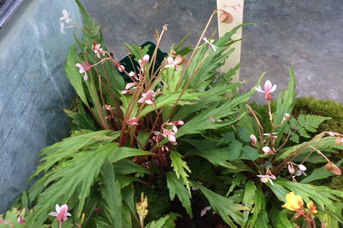 Deux nouvelles espèces de Begonia au JBM Begonia-nosymangabensis-2017-11-13-2-landscape