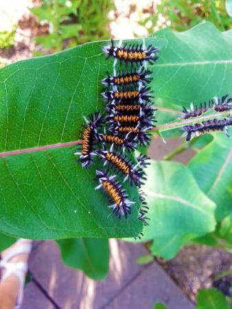 The milkweed tussock moth caterpillar may inadvertently eat eggs or small monarch caterpillars found on leaves.