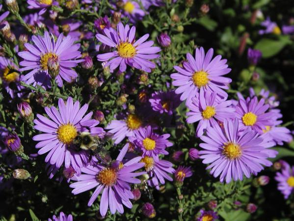 Smooth aster (Symphyotrichum laeve 'Bluebird')