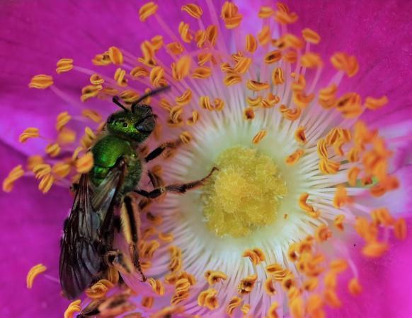 Virescent green metallic bee (Agapostemon virescens)