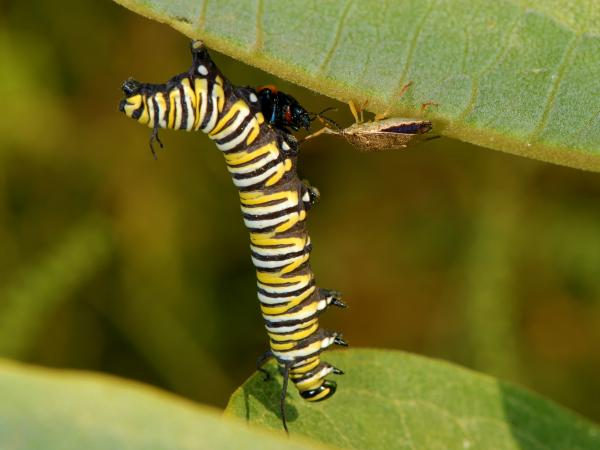 Monarch caterpillar attacked by stink bug..