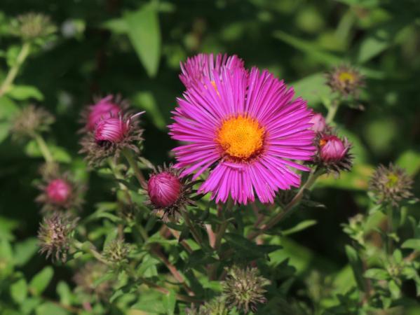New England aster (Symphyotrichum novae-angliae 'Andenken an Paul Gerber')