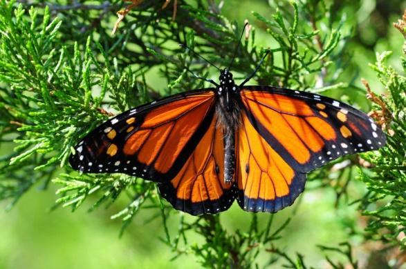 À travers l'Amérique du Nord, on investit des ressources considérables pour protéger le papillon monarque, dont les populations migratrices ont largement diminué depuis 20 ans.