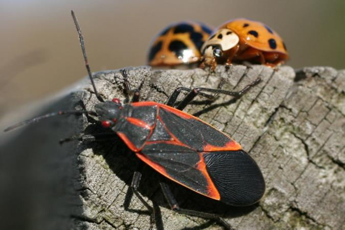 Boxelder bug and asian lady beetles