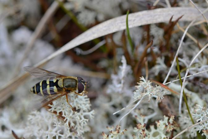 Syrphidae, like this one photographed in Kuururjuaq (Qurlutuarjuq) in 2015, are also abundant in northern Québec.
