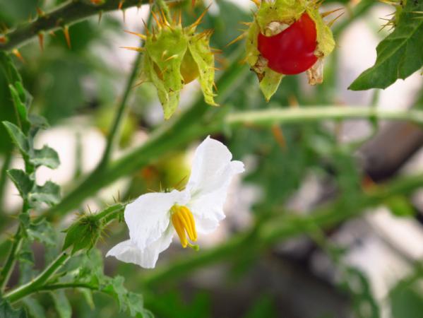 Litchi tomato (Solanum sisymbriifolium)