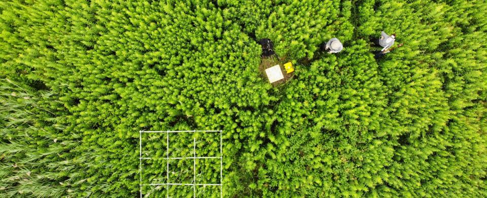 Travaux d'échantillonnage de végétation, îles-de-Boucherville, en prévision des vols de drones / avions, juillet 2018.