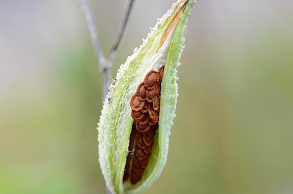 À vos semences d'asclépiades! - Carrousel
