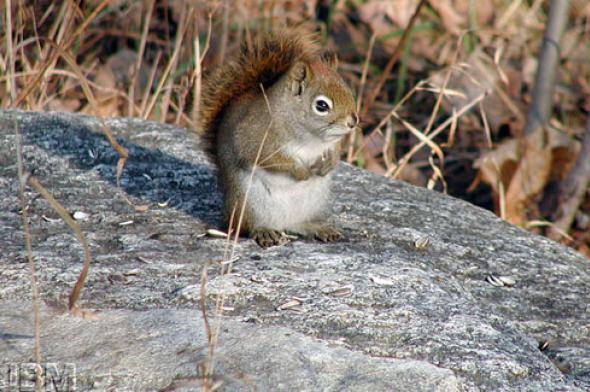 Écureuil roux © Jardin botanique de Montréal (Gilles Murray)
