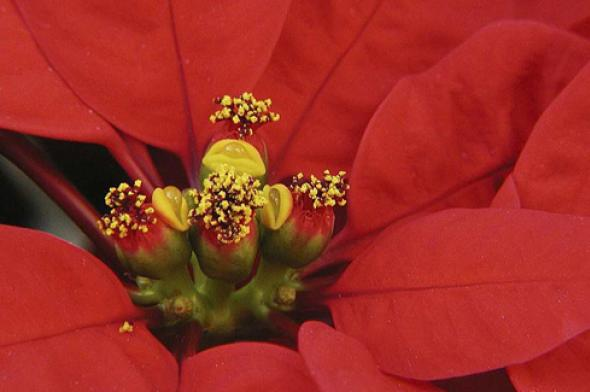 Poinsettia © Photo Gilles Murray