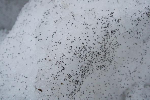 Puces des neiges © cc wikimedia (Rolf Schlagenhaft)