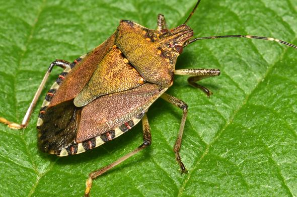 Adulte de la punaise marbrée (Halyomorpha halys)