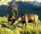 Male caribou in Alaska