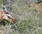 A goat grazing area in a green oak wood