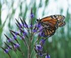 Getting a better understanding of the monarch's spring migration