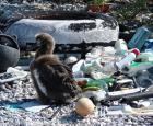 Young albatross on an island in the Hawaiian Archipelago