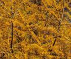 Feuillage automnal du mélèze laricin © Jardin botanique (J. Boutin)