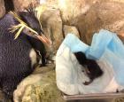 Gorfou sauteur du Nord et son bébé