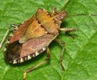 Adult - brown marmorated stink bug (Halyomorpha halys)