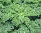 Kale. Crédit photo : Wikipédia