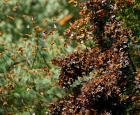Papillons monarques au Mexique