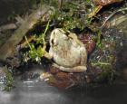 Rainette faux-grillon (Pseudacris triseriata)