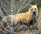 Famille de renards