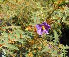 Morelle de Madagascar (Solanum pyracanthos) © Espace pour la vie (Pascale Maynard)