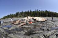 Le cachalot Tryphon échoué à l'île de Saint-Barnabé, juin 2009