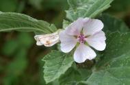 althaea-officinalis-cc-flickr-daniel-jolivet-960x642.jpg