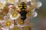 Syrphid flies and bee flies: two pretty flies that are pretty useful! - Carrousel