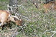 Pâturage de chèvres dans une chênaie verte