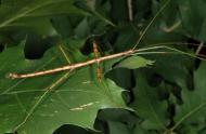 Diapheromera femorata (male) © Insectarium de Montréal (René Limoges)