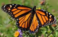 Monarch butterfly (Danaus plexippus) © André Sarrasin